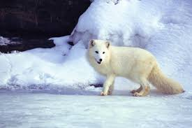 7 animals that turn white in winter britannica com