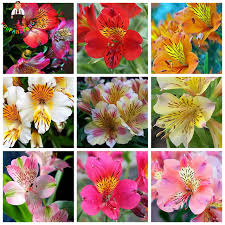 peruvian lilies 100 pcs peruvian alstroemeria seeds mix color beautiful