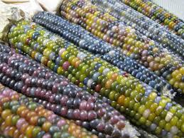 ornamental corn glass gem seeds garden hoard harvested