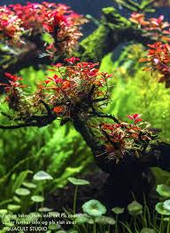 Aquascaping Plants Ludwigia Sp Super Red 2