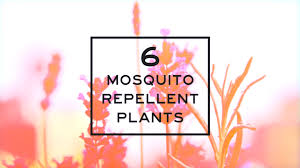 six mosquito repellent plants video hgtv