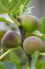 20 best trees images on pinterest edible plants ficus and fruit