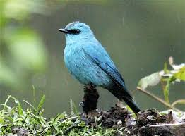Verditer Blue Verditer Flycatcher Eumyias Thalassinus A Bird In The Rain