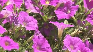 Fragrant Flowers Growing Fragrant Flowers Youtube