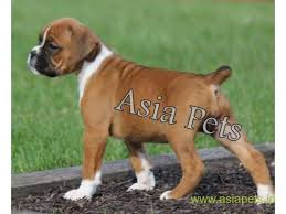 boxer dog price boxer puppies for sale in bhubaneswar on best price asiapets