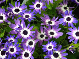 blue daisy violet daisies spring flowers blue daisies signal the
