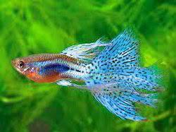 wholesale distributor of indian aquarium fish tropical fish by