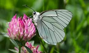 warming climate could see butterfly loved by churchill to