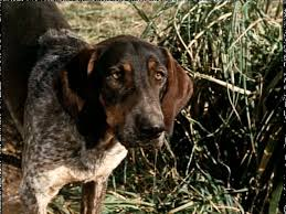 bluetick coonhound dander bluetick coonhound the house of two bows 雙寶之屋