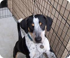 bluetick coonhound kennels in ga scout adopted dog greensboro ga beagle bluetick coonhound mix