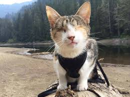 Blind Cat Sanctuary Meet Honey Bee The Rescued Blind Cat Who Loves Hiking Ned Hardy