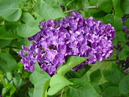 lilac flowers lilacs how to plant grow and care for lilac shrubs the