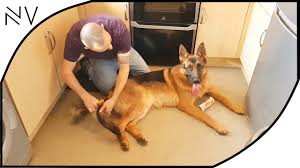 belgian shepherd health problems very active belgian malinois dog detail information about pet life