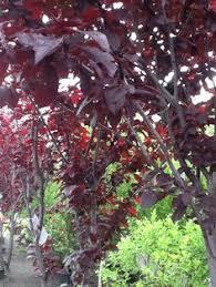 blooming ornamental plum trees backyard plum tree