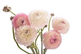 Ranunculus Ranunculus Harrisons