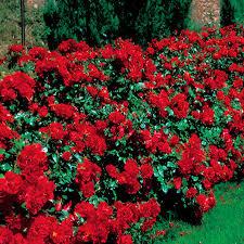 la sevillana rose hello hello plants u0026 garden supplies