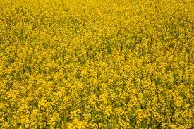 robust oilseed crop can resist global warming
