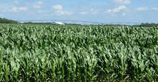 irrigated corn base your 2018 cash rents on these northeast numbers american