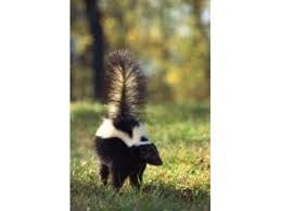 How Do You Get Rid Of Skunks In Your Backyard How To Get Rid Of Skunks Animal Control Offers Tips Skokie Il