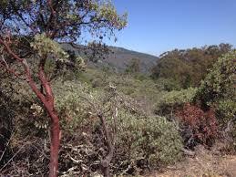 manzanita tree manzanita trees stroller hikes