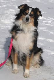 mdr1 australian shepherd the big faithwalk family