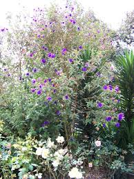 Tree With Purple Flowers Botanic Garden Of Quito Ecuador Life And Culture