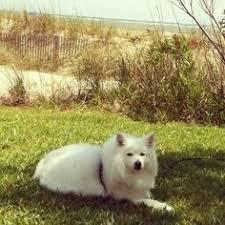 american eskimo dog breeders new england american eskimo dog puppy love pinterest best an and eskimos