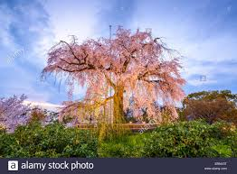 maruyama park in kyoto japan during the spring cherry blossom