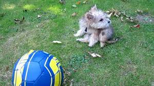 bichon frise vs yorkie yorkshire terrier bichon frise cross puppy youtube