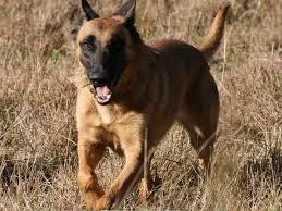 belgian malinois insurance belgian malinois everything best dogs