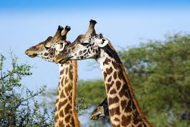 how the giraffe got its iconic neck