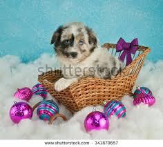 australian shepherd puppy blue eye laying stock photo 217420486