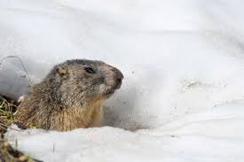 9 adorable groundhog day facts reader u0027s digest