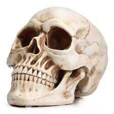 readaeer life size replica realistic human skull head bone model