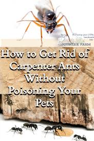 How To Kill Ants In The Kitchen by How To Get Rid Of Carpenter Ants Without Poisoning Your Pets
