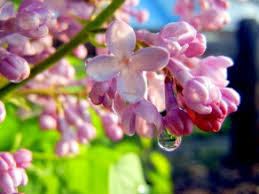 Pink Spring Flowering Shrubs - top fragrant flowers and shrubs for your garden