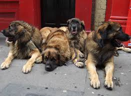 lion dogs german lion dog yesbut s images