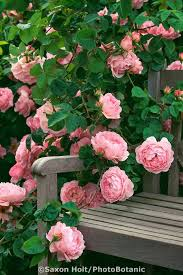 41 best roses images on pinterest gardens climbing roses and