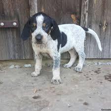 bluetick coonhound youtube bristol bluetick coonhound puppy for sale in pennsylvania