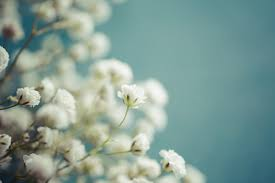 baby s breath flowers baby breath flower meaning flower meaning