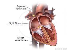 Heart External Anatomy Heart 3d Anatomy Choice Image Learn Human Anatomy Image