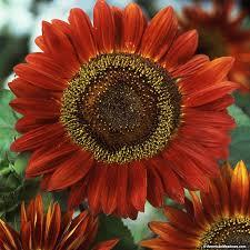 sunflower seeds red sun helianthus american meadows