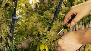 man trimming marijuana plants growing indoor stock footage video