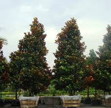 treesource wholesale nursery wholesale nursery in houston