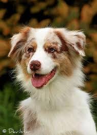 movies with australian shepherds australian shepherd the most intelligent dog breed books