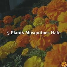 Flowers That Keep Mosquitoes Away 5 Plants Mosquitoes Png
