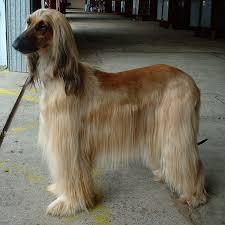 afghan hound speed list of dog breeds afghan hound dog breed