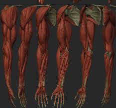Human Anatomy Reference 152 Best Anatomy Images On Pinterest Anatomy Reference Human