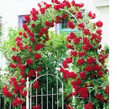 variety house red climbing rose tree plant seeds 10 seeds