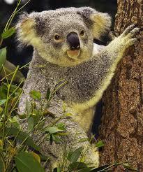 koala bear facts kids koala bear diet u0026 habitat